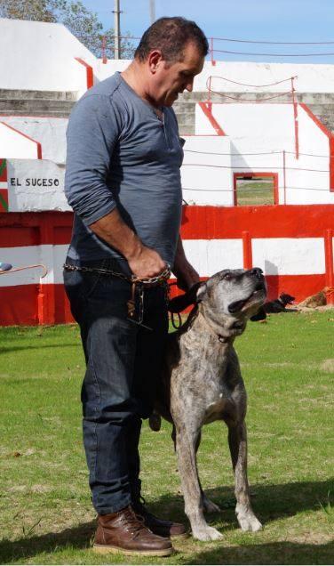 Dardon del Corrican con su propietario don Javier Checa. Dardo, en la fecha, era uno de los pocos alanos (***) Certificado en agarre de ganado, de jabalí, y defensa.